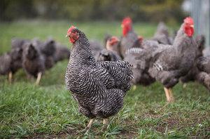 Пимутрок порода кур с полосатым окрасом: описание и преимущества