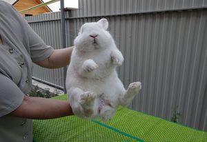 Как узнать самца кролика