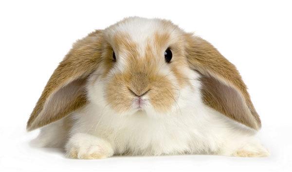 Вислоухий кролик: описание и уход, как кормить и приручить карликового барана
