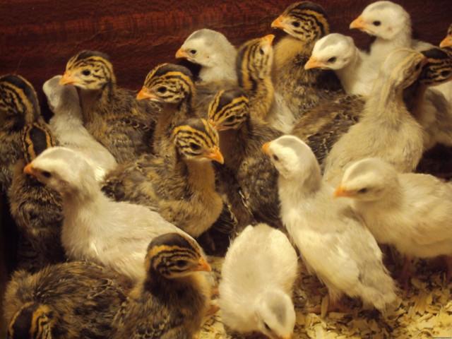 Цесарки: разведение для начинающих, уход и содержание, когда несут яйца