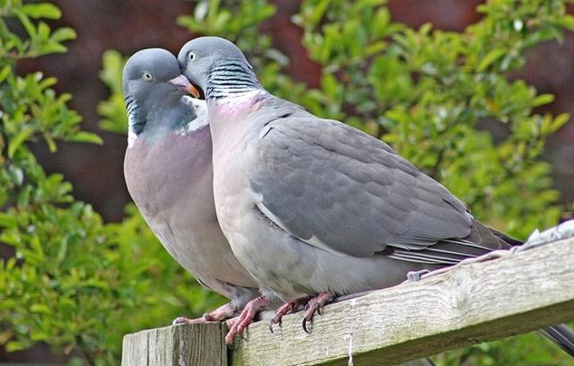 Сколько лет живут голуби в городе, уличные и домашние, как определить возраст