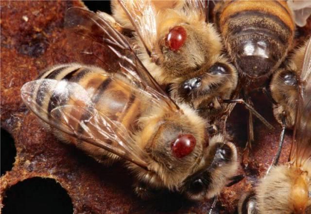 Апимакс для пчел: инструкция по применению, как применять, для чего нужен
