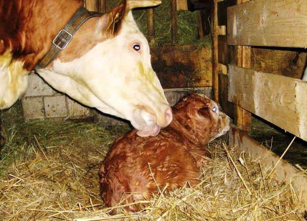 Кетоз у коров: симптомы и лечение, опасность кетоза для КРС