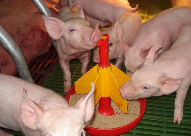 Чем кормить свиней, чтобы они быстро набирали вес, рацион месячных поросят