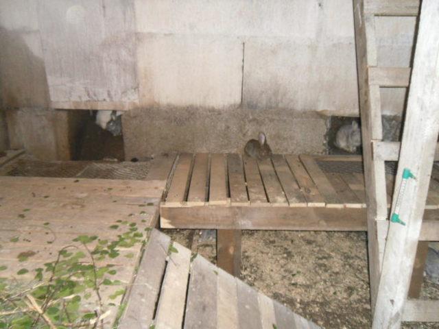 Разведение кроликов в яме, их содержание и технологии выращивания