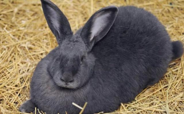 Сколько длится беременность у кроликов, как распознать беременность