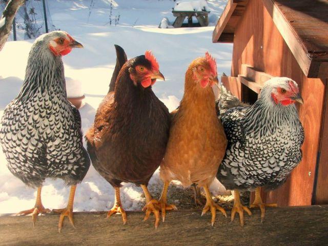 Какая порода кур самая яйценоская - ТОП 6 пород кур!
