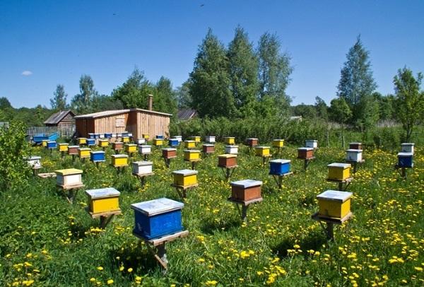 Сколько пчел в одном улье: количество во время медосбора, факторы