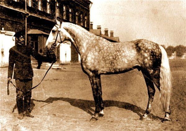 Орловская порода лошадей, как правильно ухаживать за рысаками