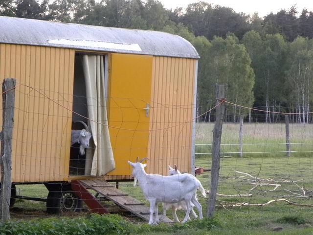 Строим сарай для коз своими руками: схема и требования для козлятника