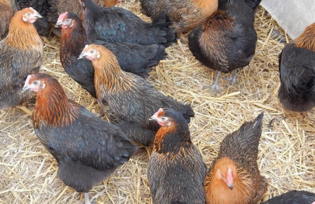 ᐉ До какого возраста несутся куры, сколько лет курица несет яйца{q}