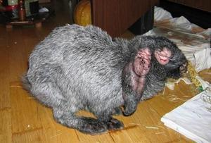 Миксоматоз у кроликов лечение в домашних условиях, можно ли есть мясо, причины, профилактика болезни