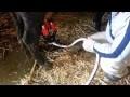 Как правильно доить корову доильным аппаратом и руками
