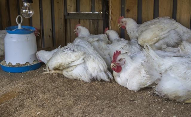 Инструкция по применению тетрамизол 10 для птиц и свиней при гельминтозах