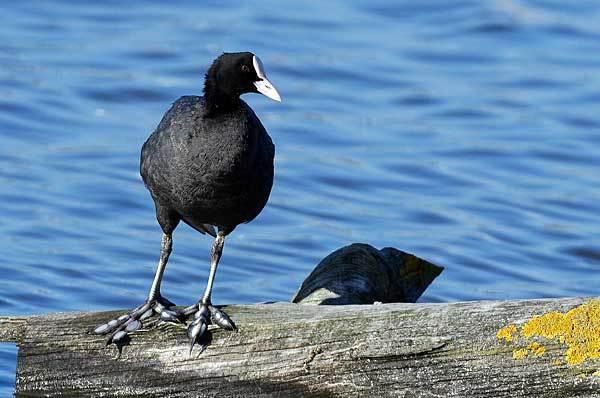 Черная птица: утка с белым клювом называется лысуха, фото, описание