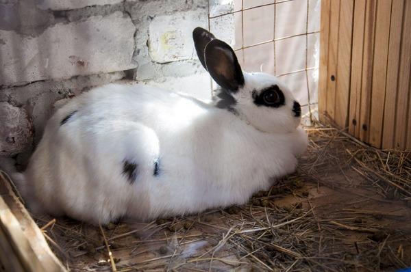 Как узнать что крольчиха беременна: признаки, срок и что делать