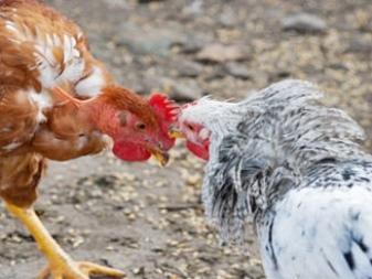 Русская хохлатая порода кур, описание Куры с хохолком на голове!