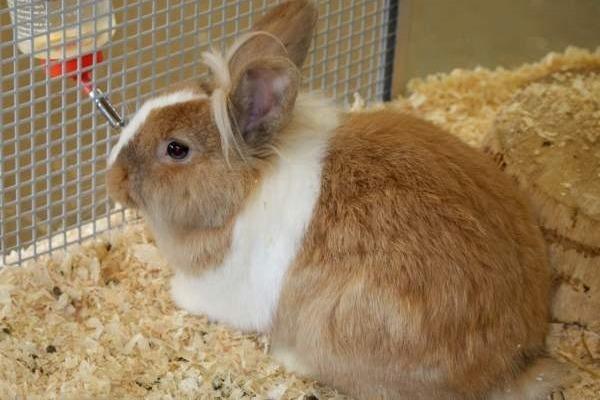 Болезни кроликов кокцидиоз как лечить