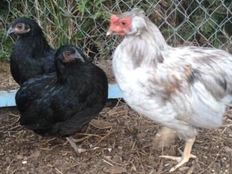 Куры Араукана – описание породы птиц с голубыми яйцами