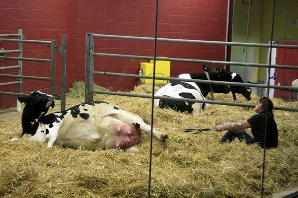 Оспа на вымени у коровы: как и чем лечить, медикаменты и средства для обработки