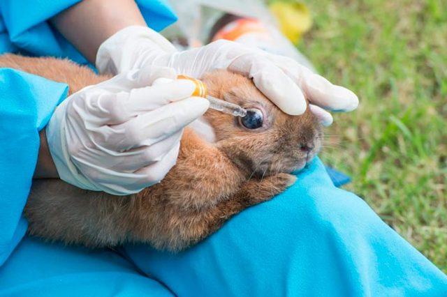У кролика гноятся глаза и отекают веки, причины и лечение в домашних условиях