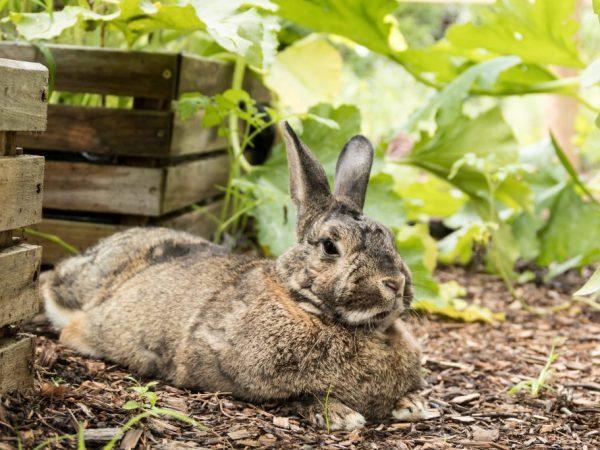 Можно ли давать кроликам кабачки, огурцы, тыкву и яблоки, с какого возраста, в каком виде