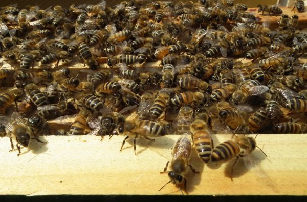Бакфаст - порода пчел: их недостаток и достоинство, особенности, зимовка