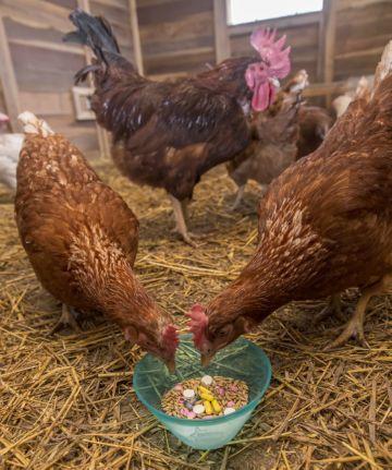 Микоплазмоз у кур: симптомы и лечение, причины, опасность для птиц, людей, фото