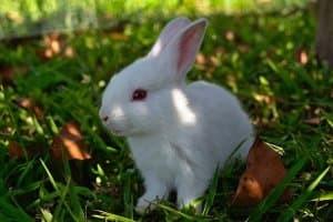 Молочная кислота инструкция по применению в ветеринарии для кроликов, телят, свиней