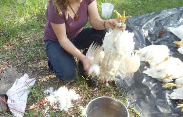 Как ощипать курицу вручную в домашних условиях: сухой и горячий способ, приспособления