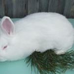 Лучшие породы кроликов для разведения на мясо в домашних условиях