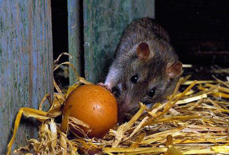 Как избавиться от крыс в курятнике, способы борьбы и уничтожения грызунов в сарае