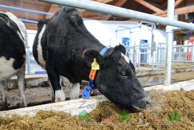 Чем кормить корову чтобы было больше молока: выбор продуктов и корма