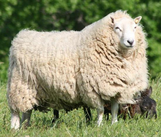 Мясные породы овец: характеристика 12 самых лучших для разведения в нашей стране