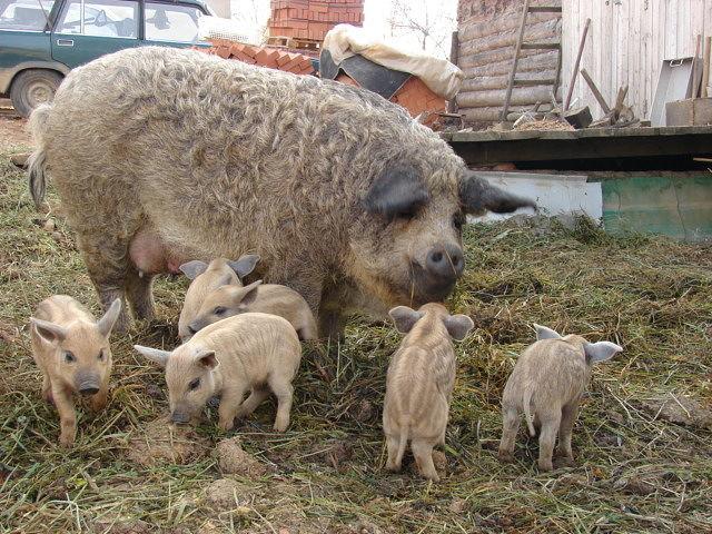 Венгерская мангалица: описание породы, разновидности, уход и содержание свинок