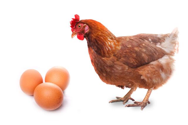 Тетра - порода кур: описание и характеристика, как ухаживать, преимущества и недостатки