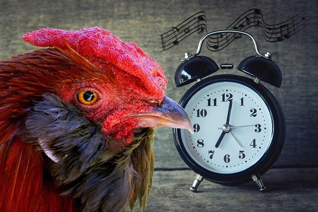 Почему кричит петух утром и ночью, как сделать чтобы не кукарекал