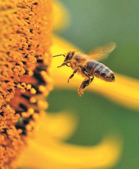 Осенняя подкормка пчел сахарным сиропом: когда кормить, какие добавки использовать