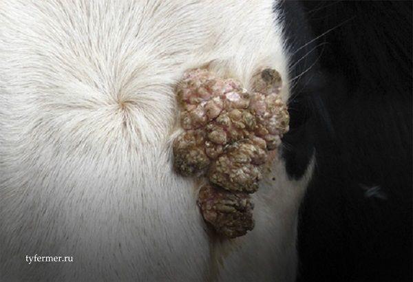 Бородавки на вымени у коровы, чем лечить, что делать