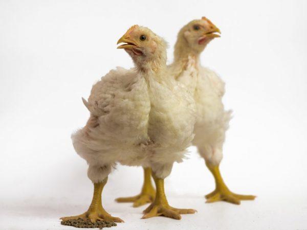 Цыплята и взрослые бройлеры чихают, хрипят: чем лечить и что делать