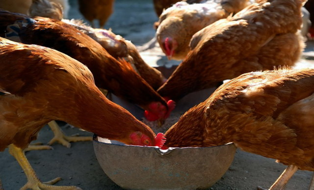 Чем кормить кур зимой, чтобы несли яйца