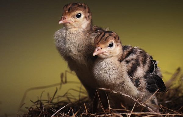 Тетравит: инструкция по применению для птиц, как использовать, способы применения