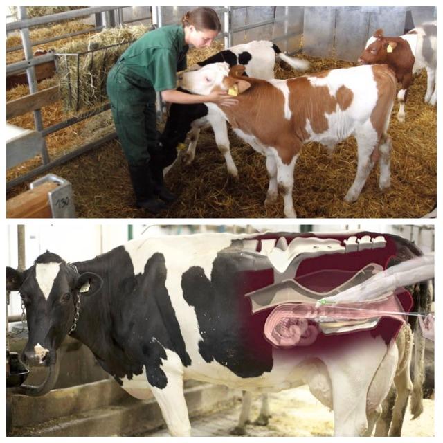 Как узнать стельная корова или нет в домашних условиях: календарь стельности и отела