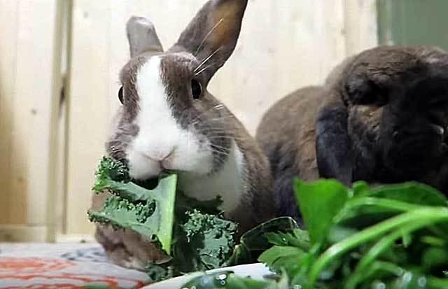 Мокрец у кроликов: чем лечить, мокрую мордочку при инфекционном стоматите