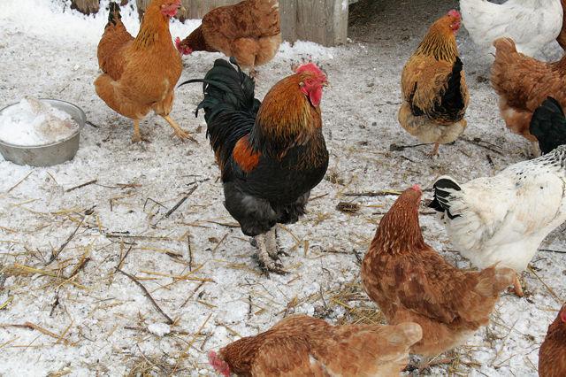 Кокцидиоз у кур: симптомы и лечение цыплят в домашних условиях