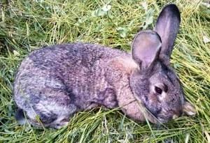 Тромексин инструкция по применению для птиц, кроликов и других животных