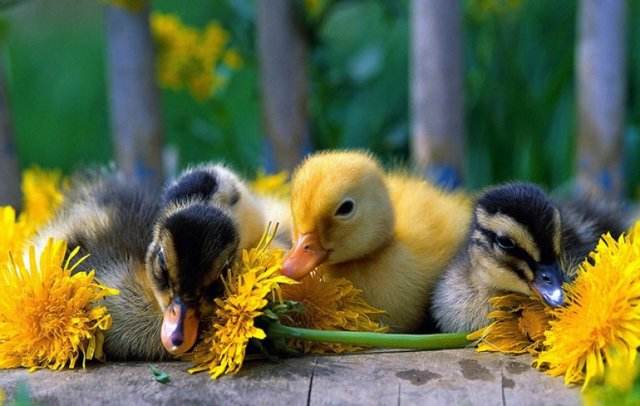 Утки падают на ноги, садятся и дохнут, причины и лечение болезней