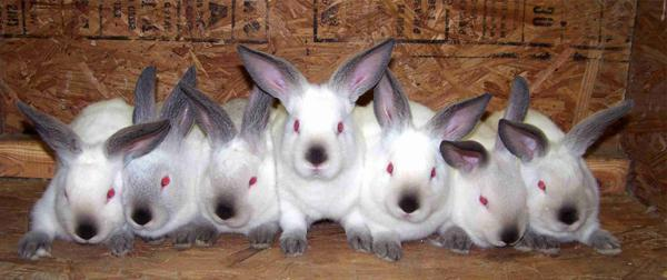 В каком возрасте можно случать кроликов в первый раз, во сколько месяцев, спаривание зимой
