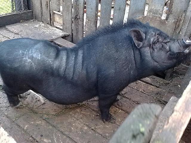 Вьетнамские свиньи: разведение, уход, питание, выращивание