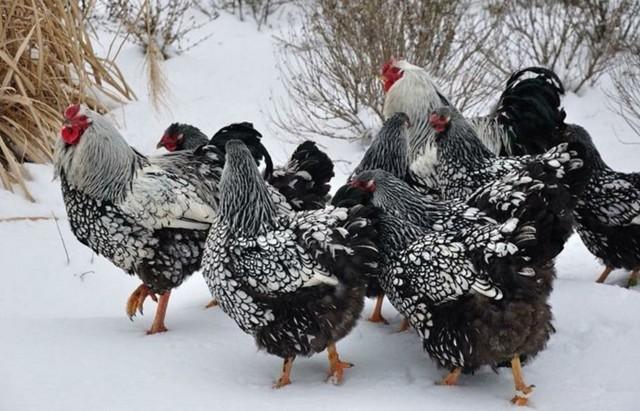 Виандот серебристый – выносливая порода кур, описание и советы